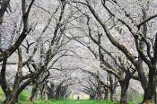 雫石川園地の桜並木(雫石・下久保)