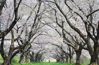 見頃を迎えた雫石川園地の桜並木