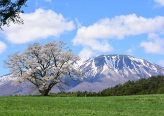残雪の岩手山と共演する小岩井農場の一本桜