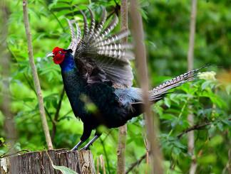 新緑を背に、大きく羽を広げる雄のキジ=10日、盛岡市高松