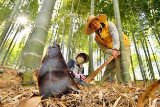 陽光が差し込む竹林でタケノコを収穫する佐藤啓一さん、加代子さん夫妻=11日、住田町世田米
