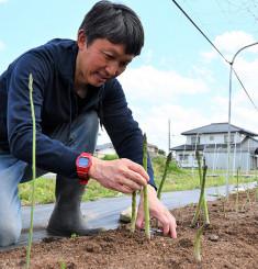成長したアスパラを収穫する照井光雪さん