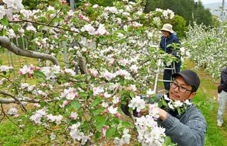 淡いピンク色に咲く花を摘み取る荒谷直大園主(手前)=12日、二戸市石切所