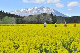 岩手山を背に一面に広がる菜の花=14日、雫石町長山(報道部・桜岡流星撮影)