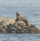 〝おっと〟珍客が出現 洋野の高家漁港沖にオットセイ