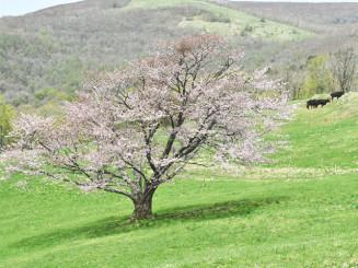 広大な自然の中に咲く、宇瀬水牧野の一本桜