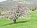 宇瀬水牧野の一本桜(花巻・大迫)