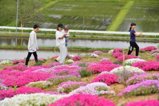 ピンクや白、かれんに咲くシバザクラ=17日、奥州市江刺梁川