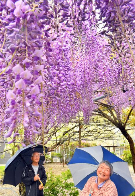 雨の中、色鮮やかなフジを眺める千葉豊之さん、ユミ子さん夫妻=19日、陸前高田市米崎町