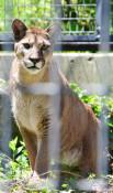 動物公園に「ニーナ」仲間入り 盛岡・雌ピューマ、来月公開