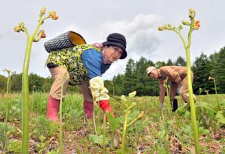 西和賀町特産の「西わらび」の収穫に励む小森一彦さん、多恵子さん夫妻=26日、西和賀町沢内