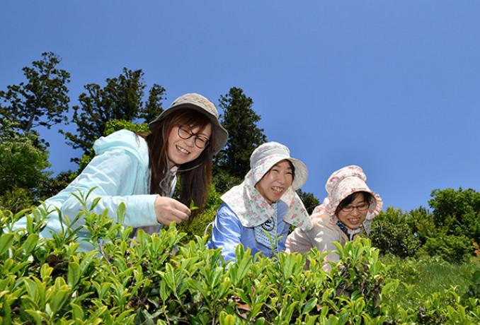 青空の下、気仙茶の摘み取りに励む女性=30日、陸前高田市米崎町