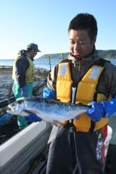 越冬試験をクリアし、久慈湾内のいけすで順調に成育する養殖ギンザケ。6月下旬から水揚げされる