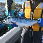 ギンザケ養殖順調 久慈市漁協、越冬2万匹水揚げへ