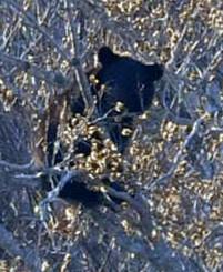 木の上で確認された子グマ。今年は人里への出没も目立っている=5月13日、岩泉町釜津田(報道部・菊池範正撮影)