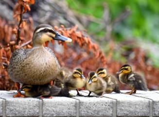 親鳥に甘えるカルガモの赤ちゃん=2日、盛岡市三本柳・盛岡赤十字病院