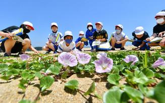 砂浜に広がって咲くハマヒルガオ=3日、陸前高田市広田町・大野海岸
