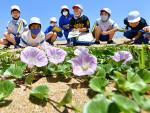 花に願う 浜の再生 陸前高田・大野海岸でハマヒルガオ見頃
