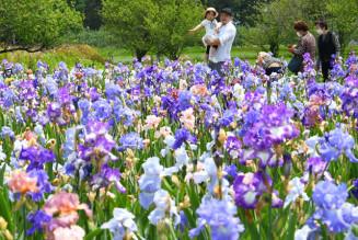 芳香を漂わせて咲く花々=4日、矢巾町煙山・ジャーマンアイリスの里
