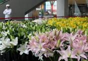 盛岡・アイーナ4階に「花畑」 雫石産のユリ展示