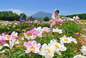 岩手山を背景に、色鮮やかに咲くシャクヤク=12日、八幡平市平舘