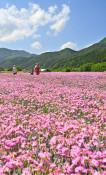 初夏染めるピンク 住田の畑、一面のナデシコ