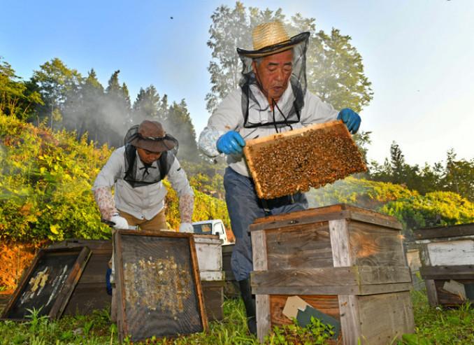 巣箱からミツバチの群がる巣枠を慎重に取り出すスタッフ=18日午前4時47分、二戸市上斗米