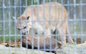 東北初 駆除害獣を活用 盛岡市動物公園、28日餌付け観察会