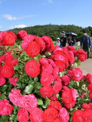 青空の下、色鮮やかなバラが咲き誇る紫波ローズガーデン=20日、紫波町草刈