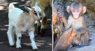 ㊧5月27日に生まれたヤギの赤ちゃん。獣舎内を活発に動き回り、愛らしさを振りまいている、㊨4~5月に計5匹生まれたニホンザルの赤ちゃん。親ザルに抱きついたり、いたずらする姿が楽しめる