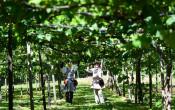 緑の屋根 実りに備え 紫波町のブドウ畑