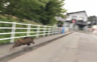 盛岡市内の路上を走り回るイノシシ(斎大輔さん提供)