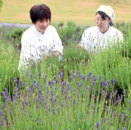 紫色の花が咲き始めたくずまき高原牧場のラベンダー園