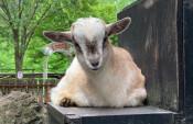 雌ヤギ赤ちゃんは「くろ」 盛岡市動物公園、投票で決定