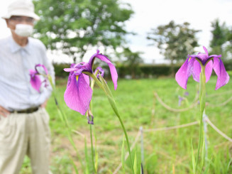 国指定天然記念物の群落で咲くノハナショウブ