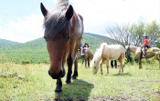 草原復元、馬にお任せ 市民団体、安比高原で放牧