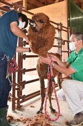 盛夏を前に毛刈りされるアルパカのモカ=2日、八幡平市平笠・サラダファームヴィレッジ