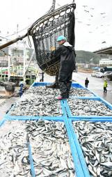 久慈港に水揚げされたマイワシ