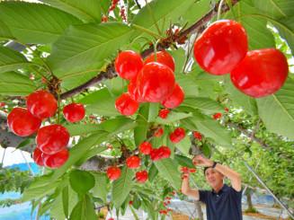 高村和良さんの果樹園で収穫期を迎えている真っ赤なサクランボ=6日、二戸市米沢
