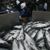 養殖ギンザケ順調 久慈市漁協、2季目6トン初水揚げ