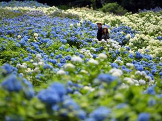 淡色のじゅうたんのように、優しく咲く花々=9日、一関市舞川・みちのくあじさい園