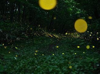 幻想的な光で森を包むヒメボタル=17日午後8時ごろ、折爪岳(二戸支局・石森明洋撮影、5枚を比較明合成)