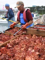 種市漁港に水揚げされた天然ホヤ。今後はさらに肉厚になり、甘みも増すという=17日午後0時45分、洋野町種市