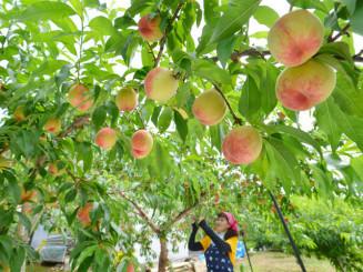 収穫期を迎え、丸々と実る桃=21日、紫波町遠山・よしもと農園