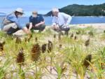 希少植物 復活の兆し 大槌・吉里吉里海岸のエゾノコウボウムギ