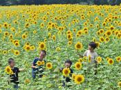 一面の真夏 笑顔咲く 北上・和賀町のヒマワリ畑