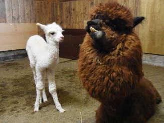 母・モカ(右)の周りで愛らしい姿を見せるアルパカの赤ちゃん