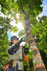 木漏れ日が差す森林で漆掻き作業に励む秋本風香さん