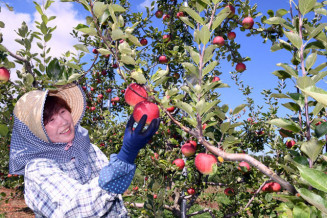 青空の下、鮮やかに色づいた紅ロマンを収穫する農園スタッフ=18日、奥州市江刺愛宕