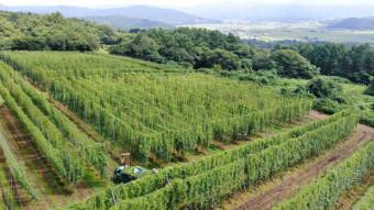 高さ5メートル、緑の棚が連なるホップ畑。ビール醸造に欠かせない毬花の収穫が始まった=21日、遠野市松崎町(本社小型無人機から撮影)